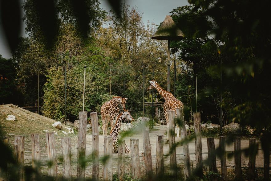 Girafe la Fovarosi Allat es Novenykert în Budapesta