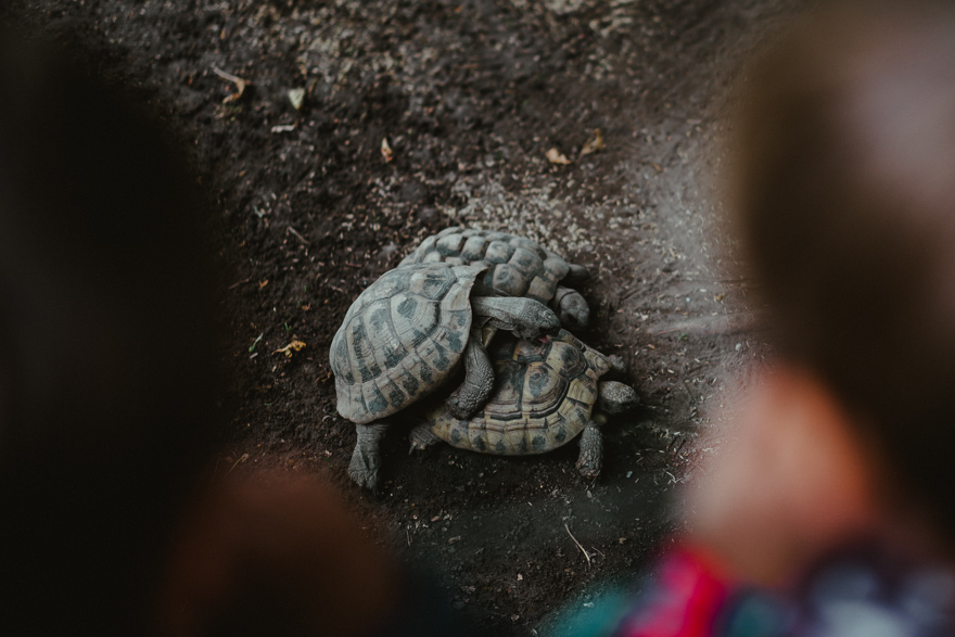 Broaște țestoase se împerechează la Fovarosi Allat es Novenykert în Budapesta