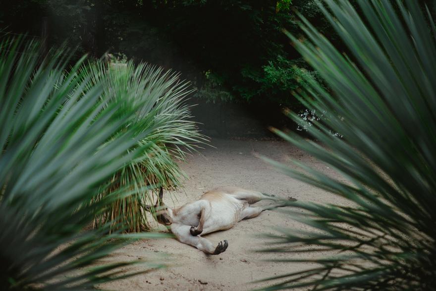 Cangur relaxat la Zoo Budapesta Fovarosi Allat es Novenykert în Budapesta