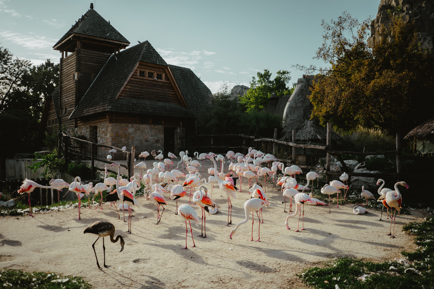 Cârd de flamingo roz la Zoo Budapesta Fovarosi Allat es Novenykert în Budapesta
