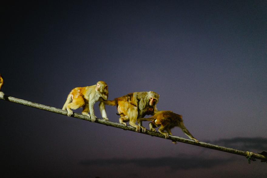 Maimute pe strazile din Thamel, Kathmandu, Nepal