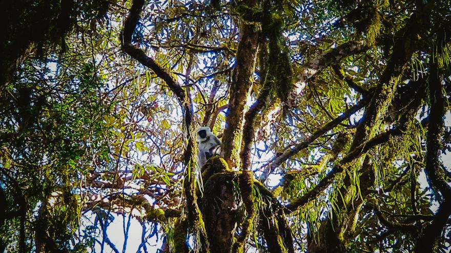 Maimuta in jungla din Nepal