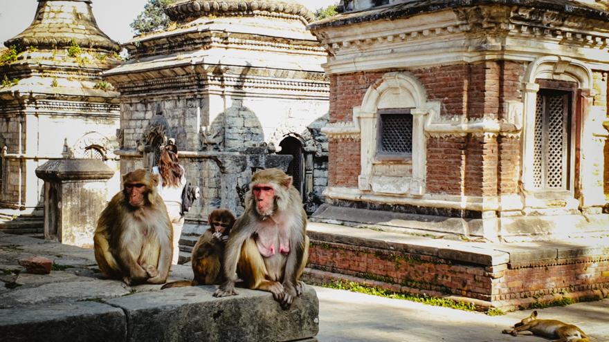 Maimute la Templul Pashupatinath