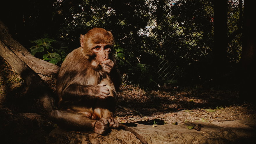 Maimuta la Templul Pashupatinath